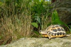 Spider Tortoise Royalty Free Stock Image