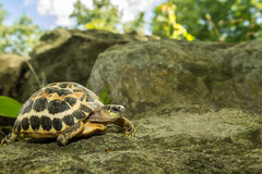 Spider Tortoise Royalty Free Stock Photography