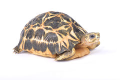 Spider tortoise, Pyxis arachnoides arachnoides. The Spider tortoise, Pyxis arachnoides arachnoides, is one of the smallest tortoise species in the world. They Stock Photo