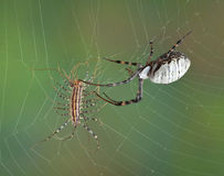 Spider touching centipede in web. A female banded argiope spider is touching a house centipede before wrapping it in silk Stock Photo