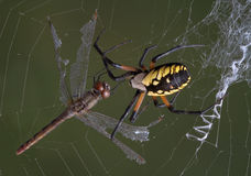 Spider touching dragonfly Stock Photography