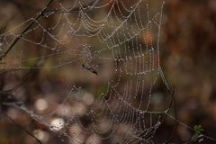 The spider trap. Insect caught in a spider's web, which shimmers with droplets of morning dew Royalty Free Stock Photos