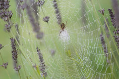Spider and trap at sunrise Royalty Free Stock Photography