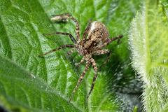 Spider (TrochosaTerricola) on a leaf Stock Photography