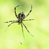 Spider. Tropical black and yellow spider on it´s net stock photos