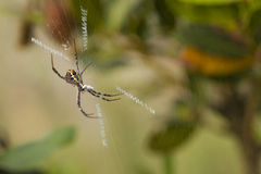 Spider. Tropical forest spider in the spider web Royalty Free Stock Photos