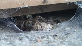 Spider trying to move its prey in a hidden place stock video footage