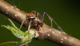 Spider on twig Royalty Free Stock Image