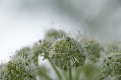 Spider on a umbelliferous plant Stock Images