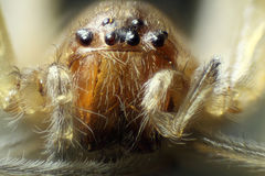Spider under the microscope (Araneae, Arane).  Stock Image