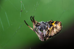 The spider upside down Royalty Free Stock Image