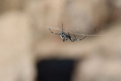 Spider upside down in web Royalty Free Stock Photography