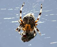 Spider with victim in cobweb Stock Images