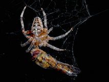 Spider with the victim of a dragonfly Stock Images
