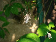 Spider and victim Royalty Free Stock Images