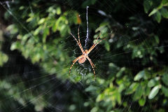 Spider Waiting. A big spider waiting at center of its web Stock Photo