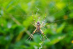Spider waiting on her web Stock Image