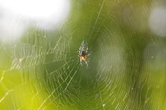 The spider waiting for its prey Stock Photo