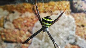 Spider. A spider waiting on its web Royalty Free Stock Image