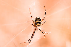 Spider waiting for prey Stock Photography