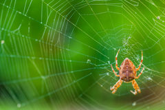 A spider waiting for a prey. On a web with green, grass background Stock Photography