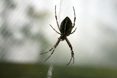 Spider waiting for the victim. Black and yellow spider waiting for the victim Stock Photo