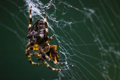 A Spider Waiting on Web, Close Up. stock photos
