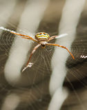 Spider waiting on a web Stock Photography