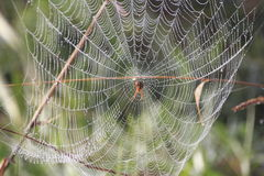 Spider Waits for Victim Royalty Free Stock Photo