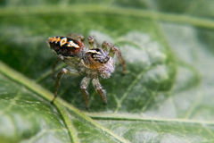 Spider walking on a leaf Royalty Free Stock Images