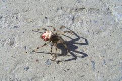 Spider walking on a stone. Cross spider and his shadow Royalty Free Stock Image