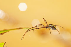Spider walking on the web Royalty Free Stock Photography
