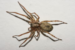 Spider on the Wall. Small spider sleeping on the wall. Shot with macro lens Stock Photos