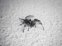 Spider on the wall. Black and white photo, insect Royalty Free Stock Images