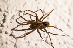Spider on the wall  Royalty Free Stock Images