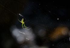 A green spider. The spider was spinning a web for hunting Stock Photography