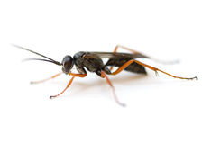 Spider Wasp Stock Photos