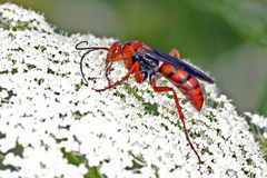 Spider Wasp Royalty Free Stock Images