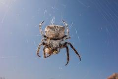 Spider & wasp. Araneus spider sucks captured wasp close up Royalty Free Stock Photography