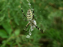 Spider wasp Argiope bruennichi Stock Photography