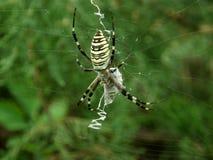 Spider wasp Argiope bruennichi Stock Photography