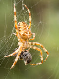 Spider with wasp as prey Stock Image