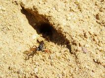 Spider wasp near to its burrow. Female Episyron-albonotatum digging nest. Spider wasp near to its burrow. Female Episyron-albonotatum digging sand nest royalty free stock photography
