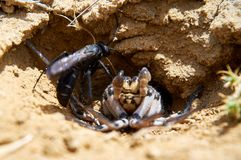 Spider wasp and paralyzed spider. royalty free stock photography
