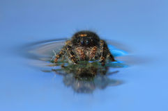 Spider in water Royalty Free Stock Photo