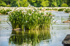 Spider water lilies in landsford state park south carolina Royalty Free Stock Photo