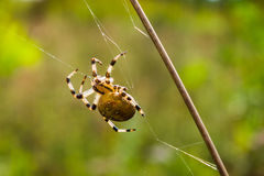 Spider on the weak web Stock Photos