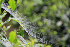 A spider weaved its web in a bush in China Royalty Free Stock Photography