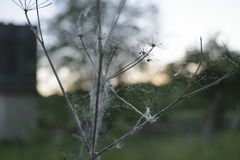 Spider weaves web on a flower on the background of sunset in the Stock Photos