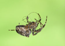 Spider weaves web with human hair Royalty Free Stock Photos